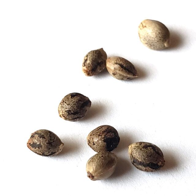 https://www.spogenetics.com/wp-content/uploads/2021/05/cannabis-seeds-white-background-640x640.jpg